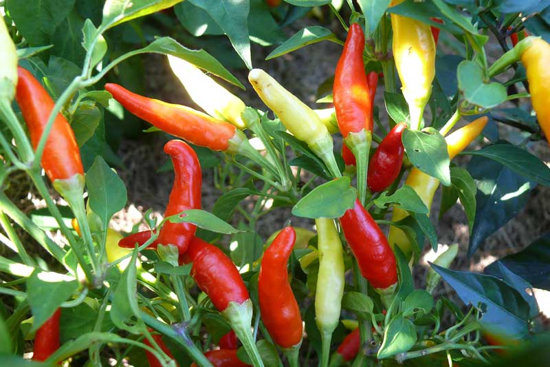 Chilisorte `Thai Chili´
